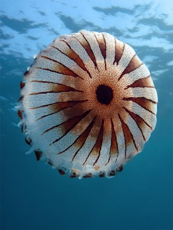 Kompas meduza, Chrysaora hysoscella, more,jadransko, pelagijal