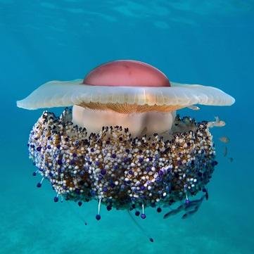 Mediteranska meduza, Cotylorhiza tuberculata, more,jadransko, pelagijal