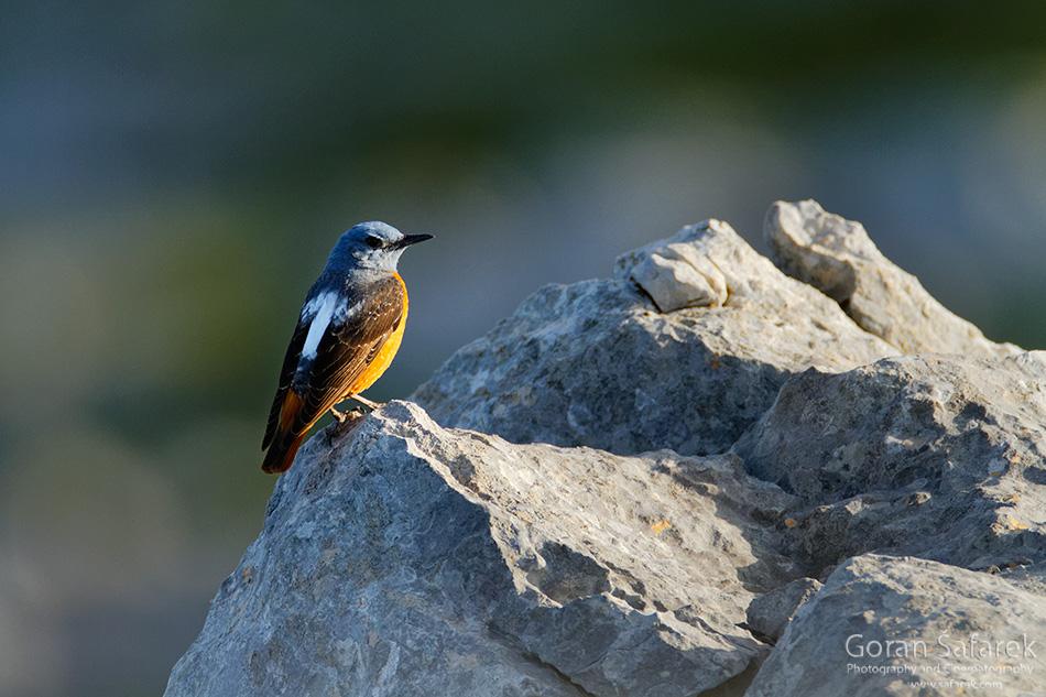 ptica kamenjar