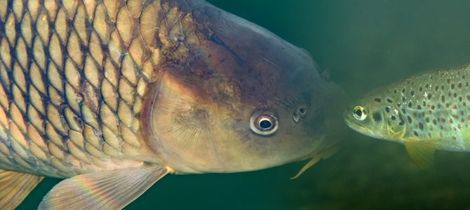 Slatkovodne ribe Hrvatske – riznice endema!