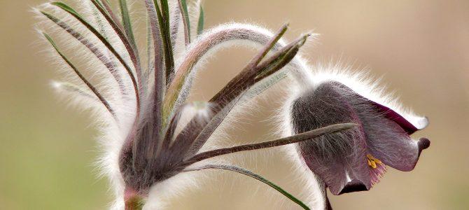 Crnkasta sasa – jedan od dragulja hrvatske flore