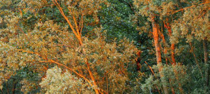 Bijela vrba – kraljica poplavnih šuma i ritova