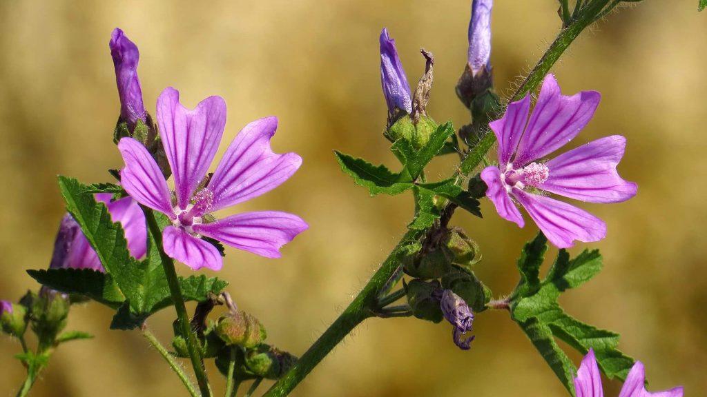 Crni sljez - biljka koja voli ljude - Priroda Hrvatske