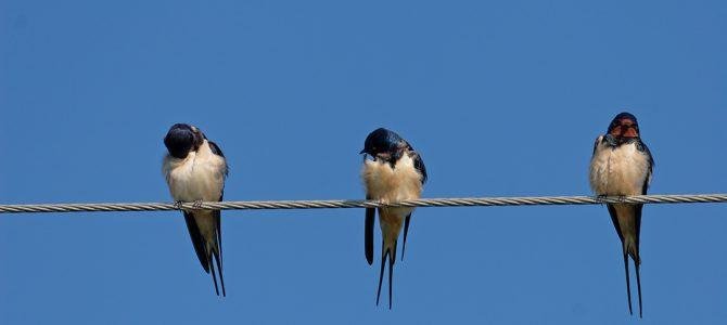 Lastavica – ptica vjesnik proljeća