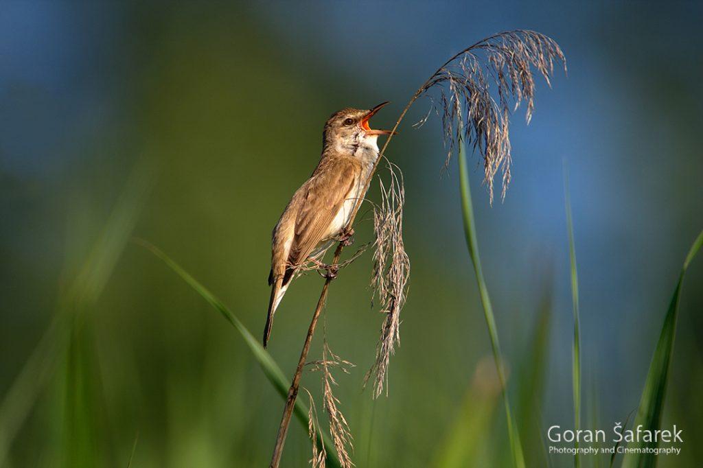 fotografija prirode, fotografija životinja, ptice, trstenjak