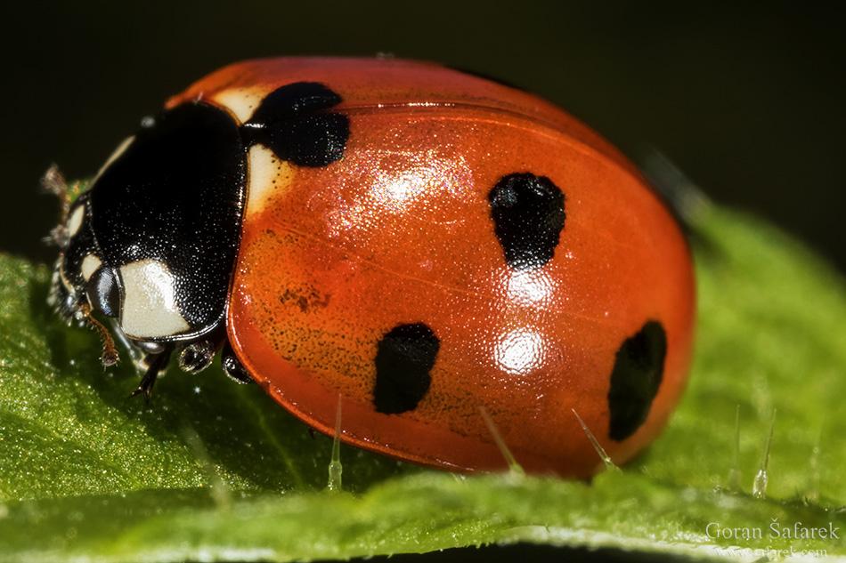 fotografija prirode, makrofotografija, bubamara, kukci