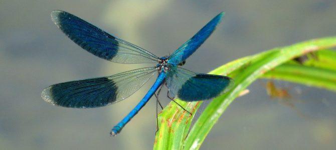 PRUGASTA KONJSKA SMRT (Calopteryx splendens)