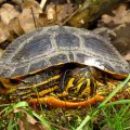 Žutouha kornjača, Trachemys scripta
