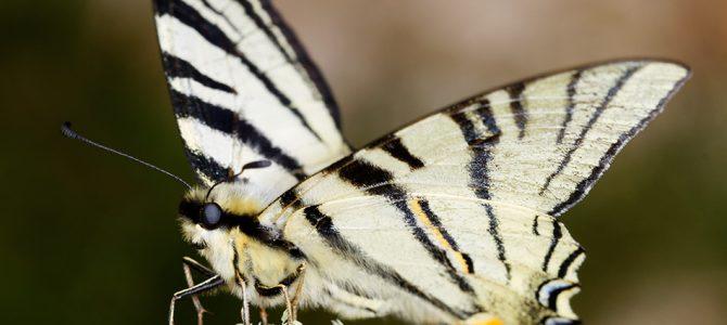 Prugasto jedarce – veliki i lijepi leptir
