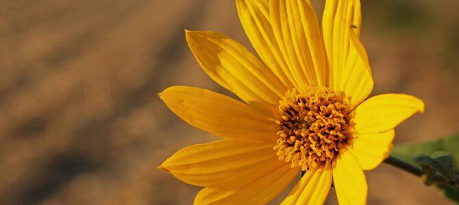 Čičoka – lijepa, ali invazivna biljka