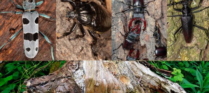 Saproskilni kornjaši – kukci ljubitelji starog drva