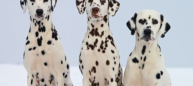 Dalmatinski pas – crnobijeli ljepotan