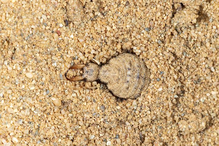 Mravlji lav – strašni grabežljivac iz pijeska