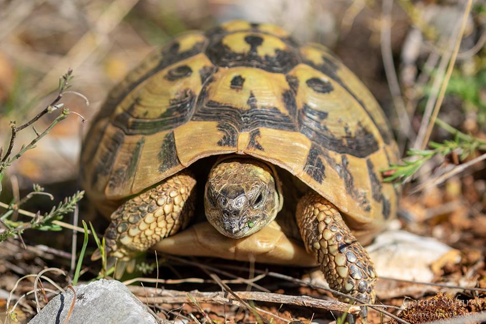 fotografija prirode, čančara, kornjača